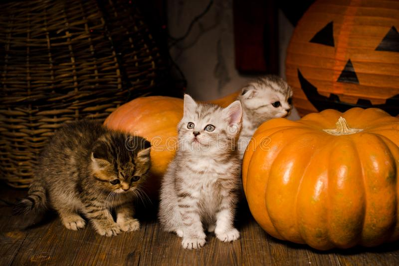 Kätzchen mit Kürbisen für Halloween stockbild