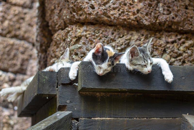Kätzchen schlafen am archäologischen Baugerüst in Angkor Wat, Kambodscha Nette junge Katzenfamiliennahaufnahme lizenzfreies stockbild