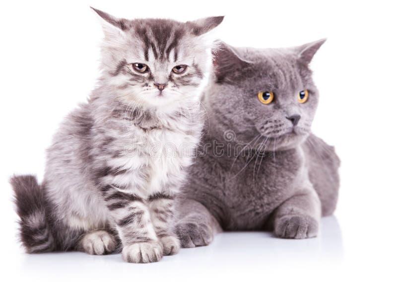 Kätzchen und erwachsene englische Katzen stockfotos