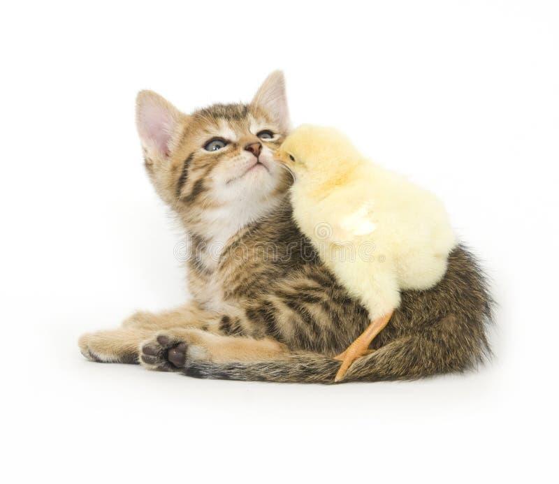 Kätzchen und Schätzchenküken lizenzfreies stockbild