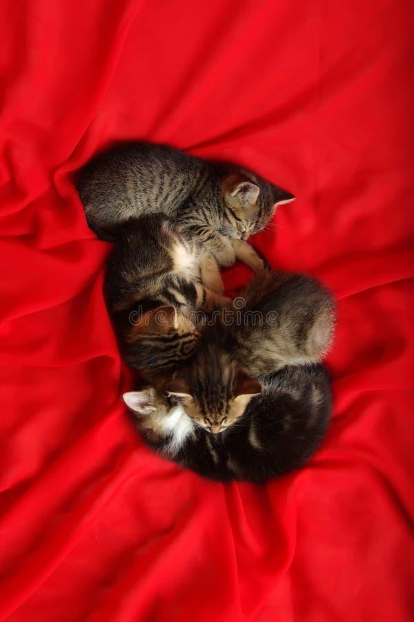 Kätzchen vier auf rotem Gewebe lizenzfreie stockfotografie