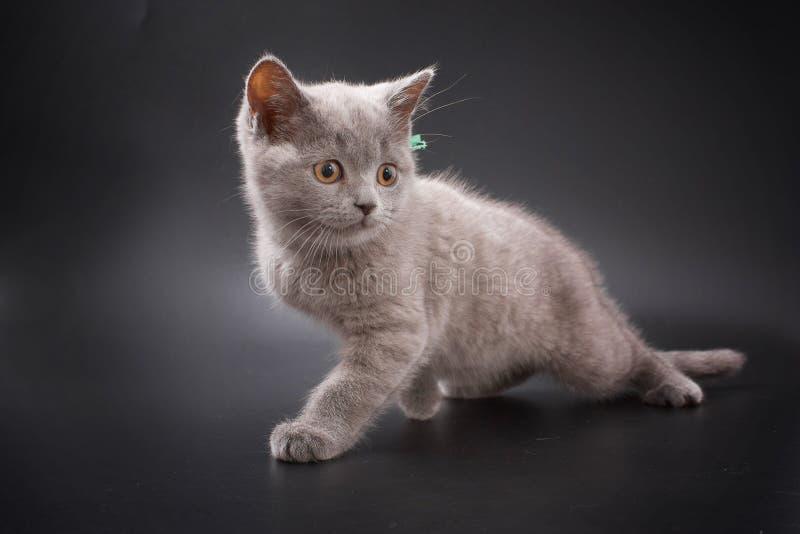 Kätzchen von Briten züchten auf einem schwarzen Hintergrund im Studio stockfotografie