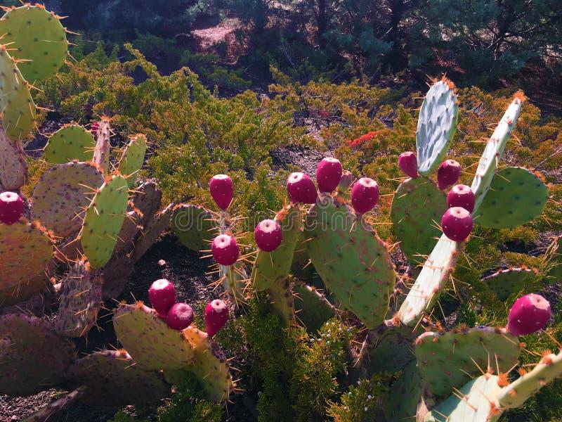 Kłujące bonkrety owocowe Szable, owoc Opuntia indica gatunki kaktus, także dzwoniący jako Indiańskiej figi opuntia zdjęcia royalty free