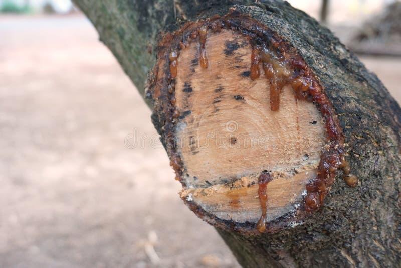 Kåda från träd fotografering för bildbyråer