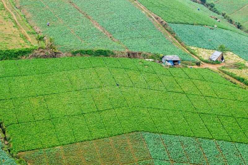 Kålfält i Phetchabun, Thailand royaltyfri fotografi