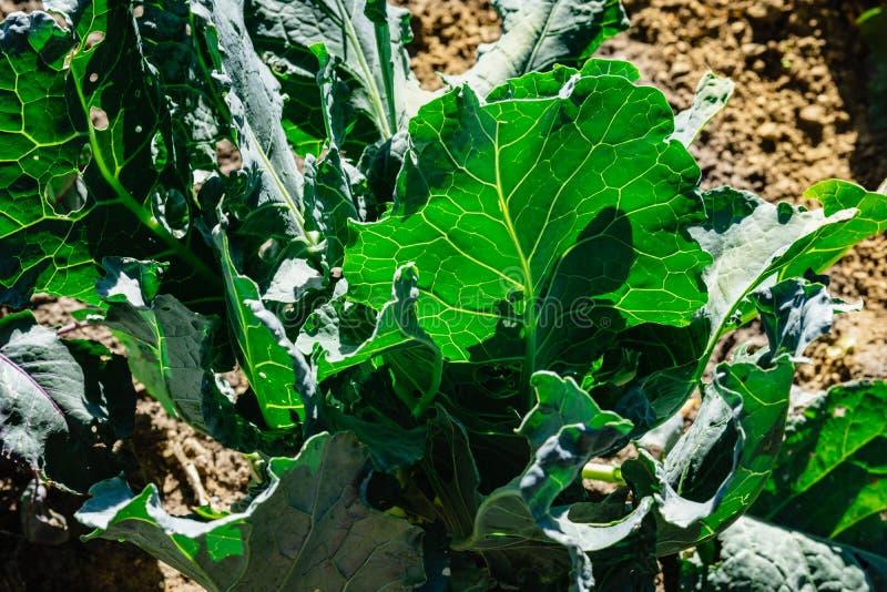 Kålgrönsaksidor åkerbruk comcept Stäng sig upp på ny kål i skördfält arkivbild