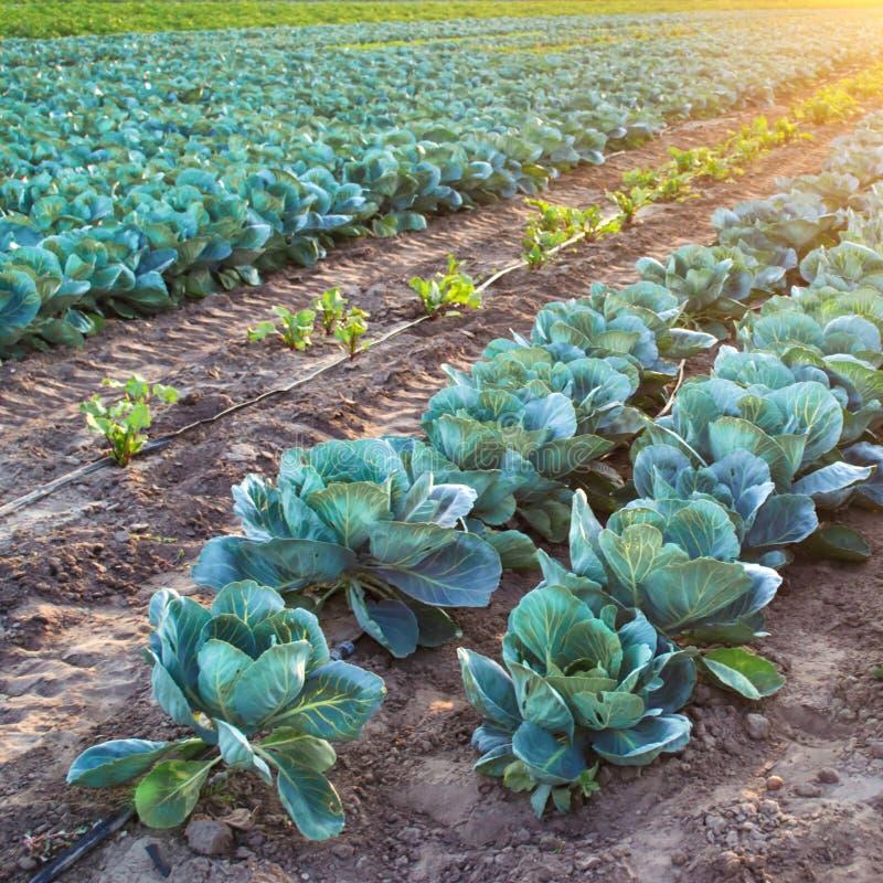 Kålkoloni på en lantgård på en solig dag V?xande organiska gr?nsaker Eco-v?nskapsmatch produkter ?kerbruk lantbruk arkivbilder