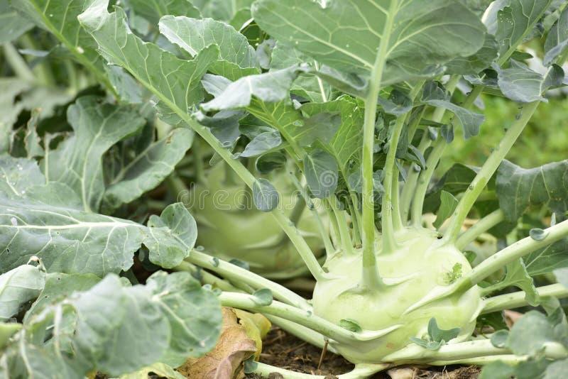 Kålrabbi i grönsaklantgården royaltyfri bild