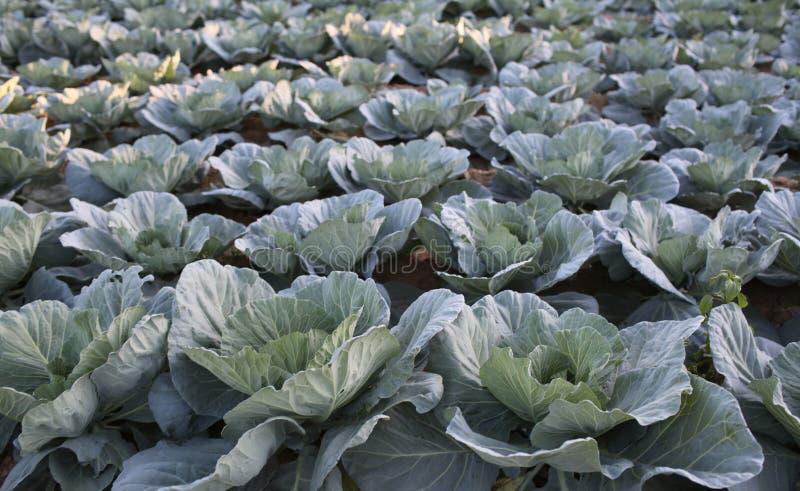 Kålskördar växer på jord Kålar på lantgårdfält Grönsakkoloni i sommar Organisk och vegetarisk mat växa arkivbild
