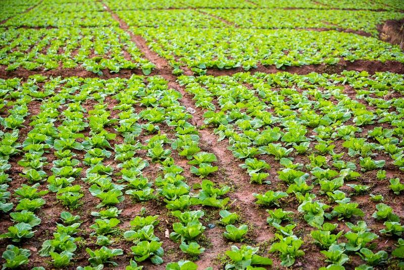 Kåltäppor i jordbruksmark Gräsplanfält från grönsaken Ren mat och lutar mat från den nya grönsaken Strikt vegetarianbegrepp arkivfoton