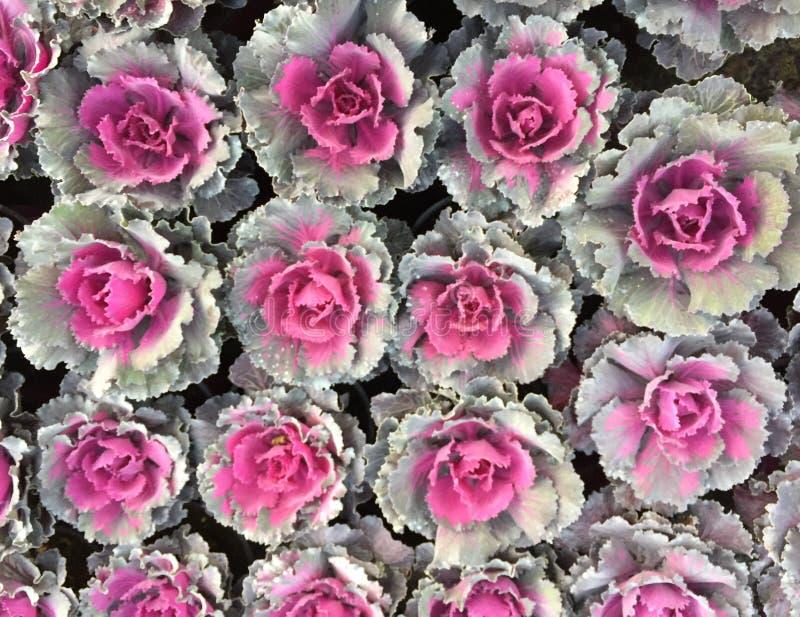 Kålväxter fotografering för bildbyråer