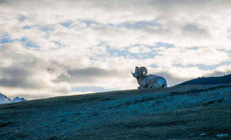 Kózka na górze góry zdjęcia royalty free