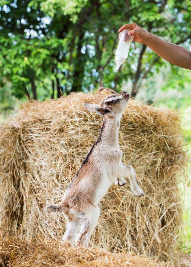 Kózka w gospodarstwie rolnym fotografia stock