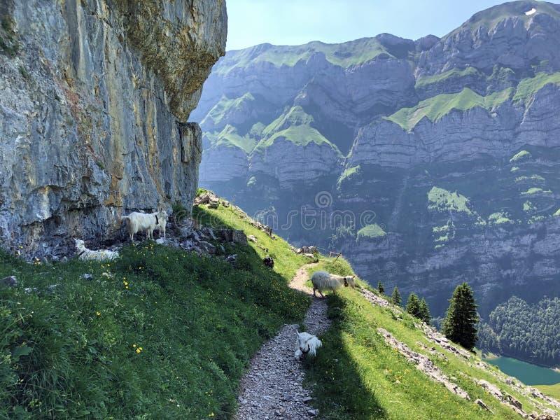 Kózki na paśnikach w dolinie Seealp wysokogórskim Jeziornym Seealpsee Appenzellerland regionem i i łąkach dalej obraz stock