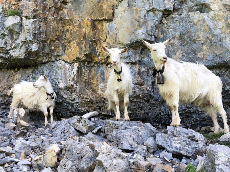 Kózki na paśnikach w dolinie Seealp wysokogórskim Jeziornym Seealpsee Appenzellerland regionem i i łąkach dalej zdjęcia stock