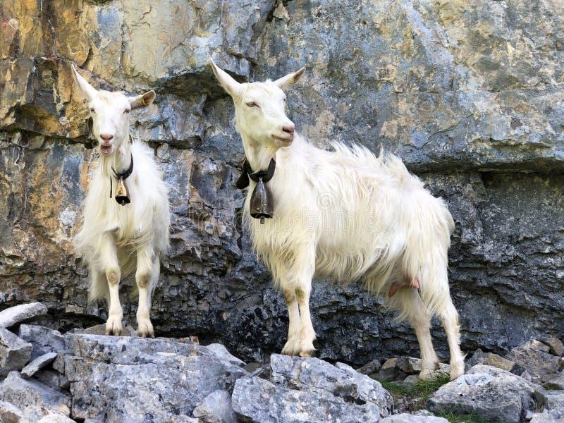 Kózki na paśnikach w dolinie Seealp wysokogórskim Jeziornym Seealpsee Appenzellerland regionem i i łąkach dalej zdjęcie stock