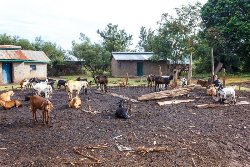 kózki przy gospodarstwem rolnym zdjęcie royalty free