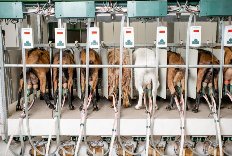 Kózki w automatyzującej dój linii zdjęcia stock