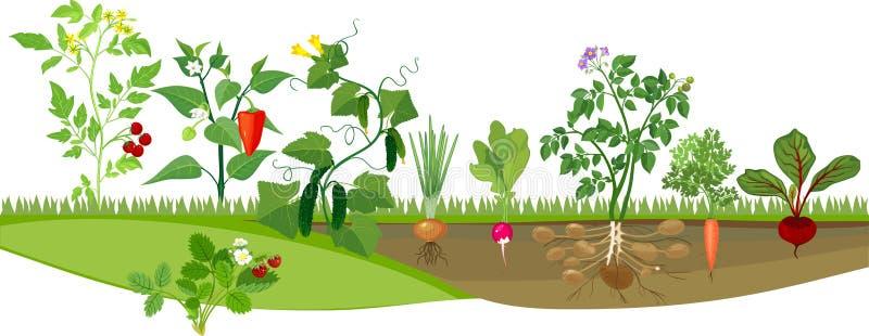 Kökträdgård med olika grönsaker royaltyfri illustrationer