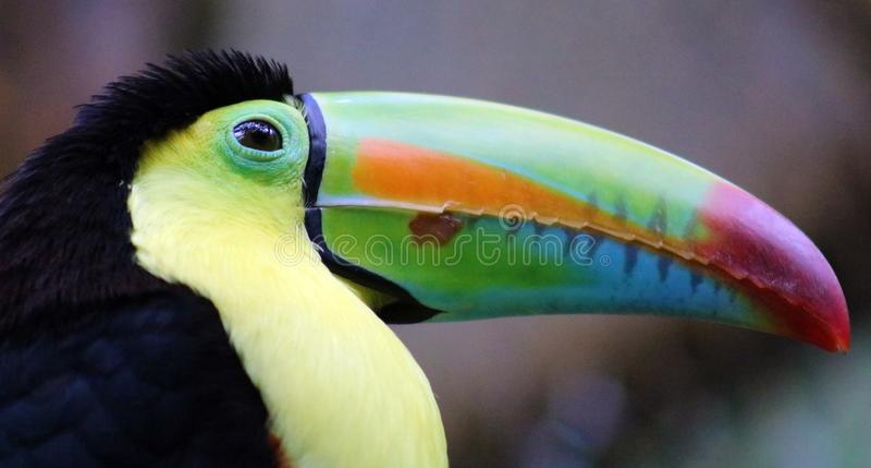Kölen fakturerade den färgrika härliga tukan i Costa Rica den ursnygga tucan tucanoen royaltyfri fotografi