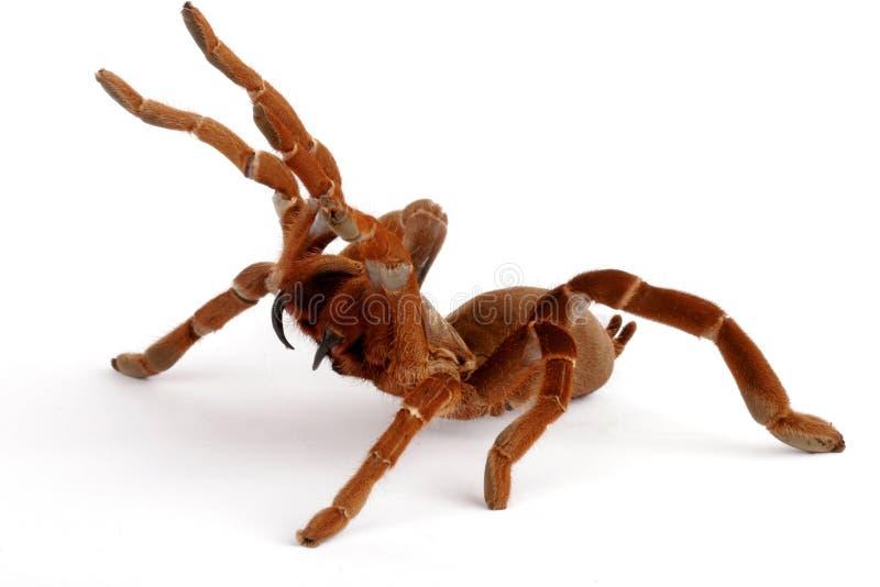 König Baboon Tarantula (Citharischius crawshayi) lizenzfreie stockfotos