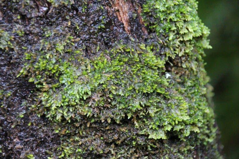 K?nig Billy Pine Tree mit Moaa-Wachstum lizenzfreies stockbild