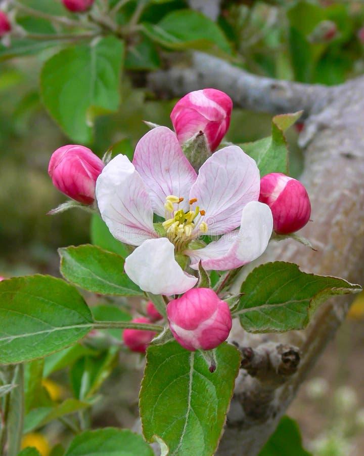 König Blossom stockbild