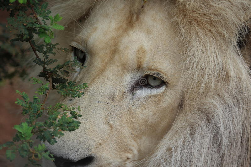 König des Dschungels lizenzfreie stockbilder
