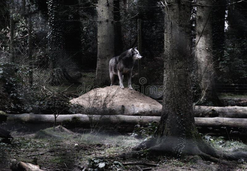 König des Waldes lizenzfreie stockbilder