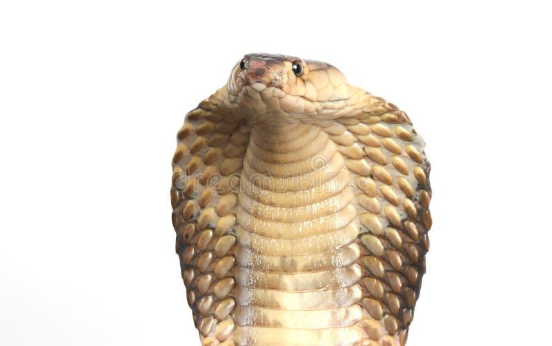 König Kobra auf Weiß stockfotografie