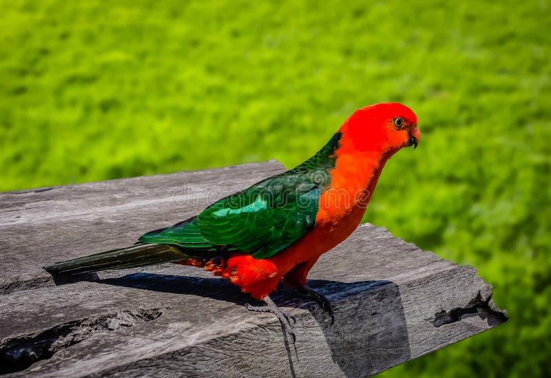 König Parrot stockfoto