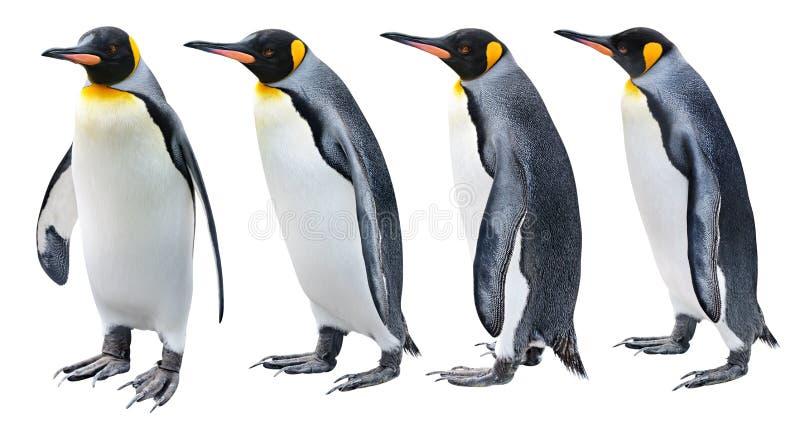 König Penguin lizenzfreie stockbilder