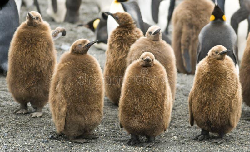 König Penguin Chicks - Str. Andrews, Südgeorgia stockfoto