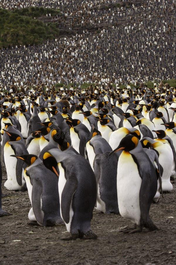 König Penguin Colony lizenzfreie stockfotos