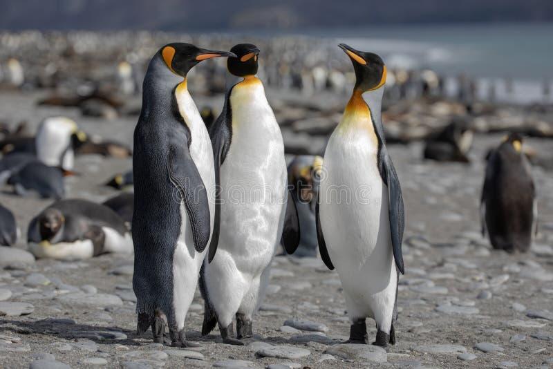 König Penguin Drei Königpinguine, die auf einem Strand gesellig sind stockbild