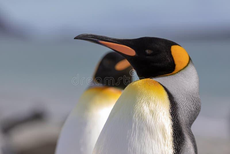 König Penguin Eine Nahaufnahme eines Kopfes Königpinguins stockfotografie