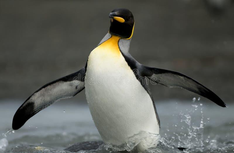 König Penguin Emerging vom Shallows stockbild