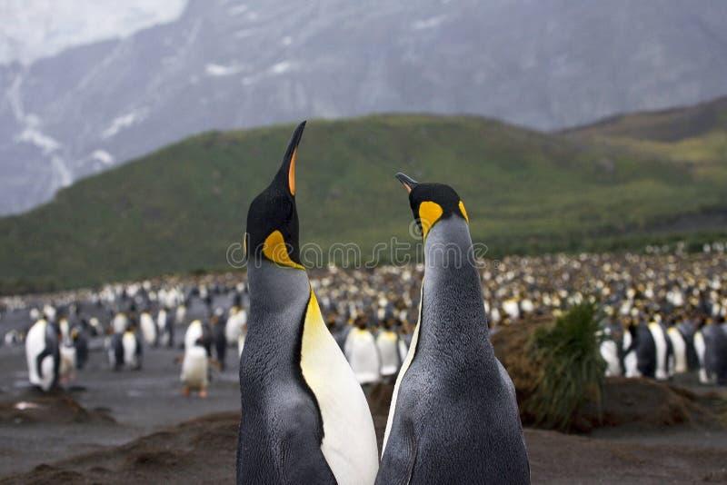 König Penguin, Koningspinguïn, Aptenodytes patagonicus stockfotos