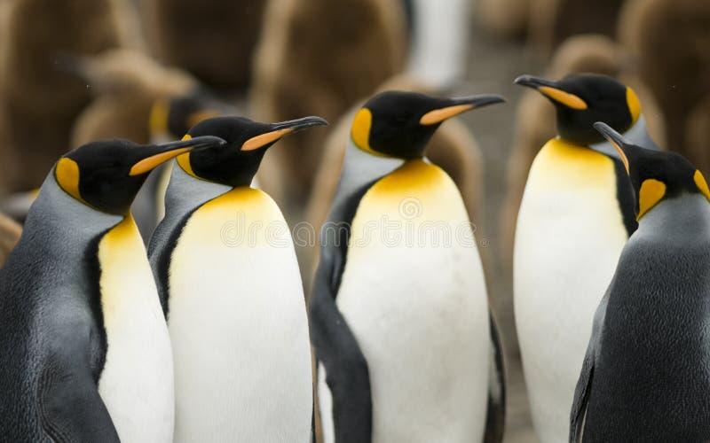 König Penguin Meeting lizenzfreie stockfotografie