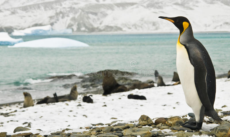 König Penguin Sentinel lizenzfreies stockfoto