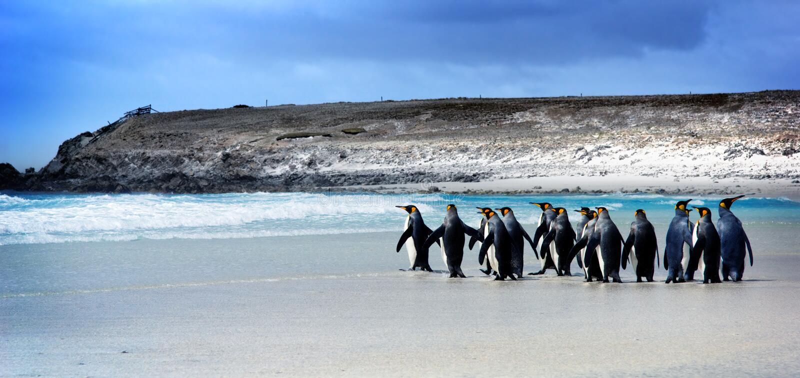 König Penguins lizenzfreies stockfoto