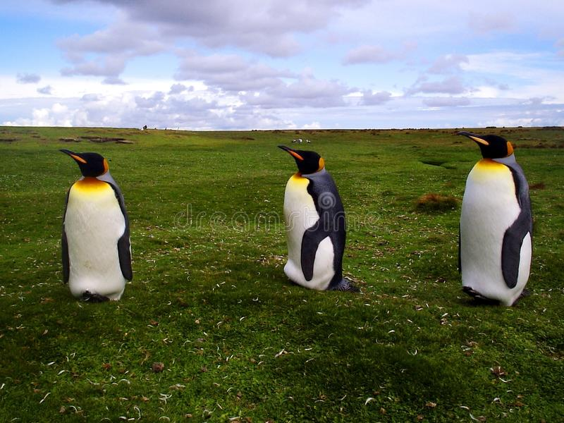 König Penguins stockfoto