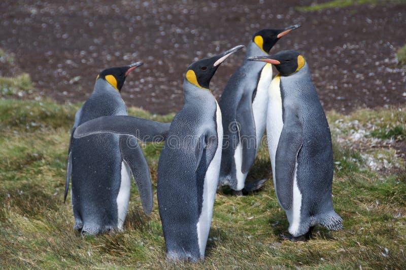 König Penguins lizenzfreie stockbilder