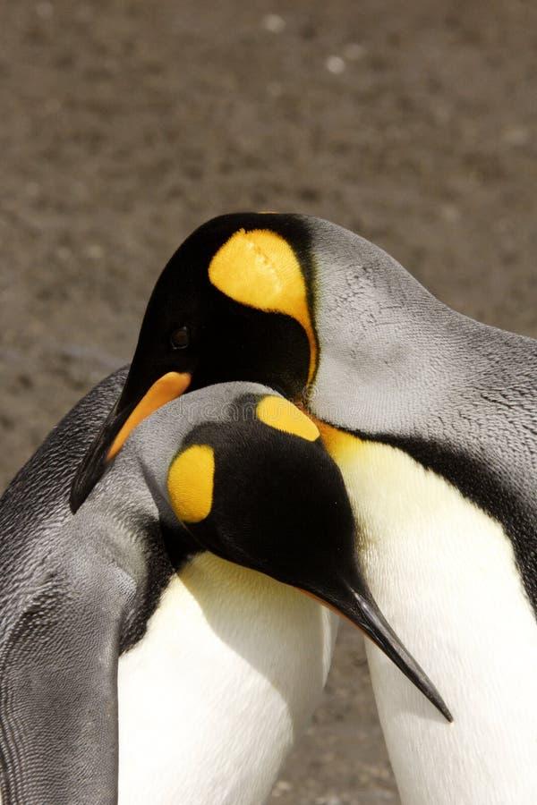 König Penguins Courting lizenzfreie stockfotografie