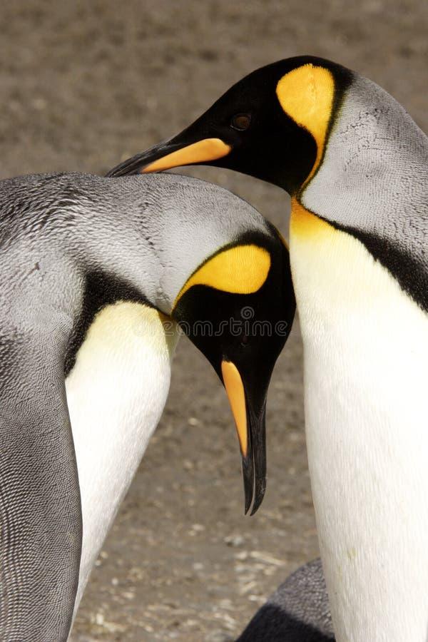 König Penguins Courting lizenzfreie stockbilder