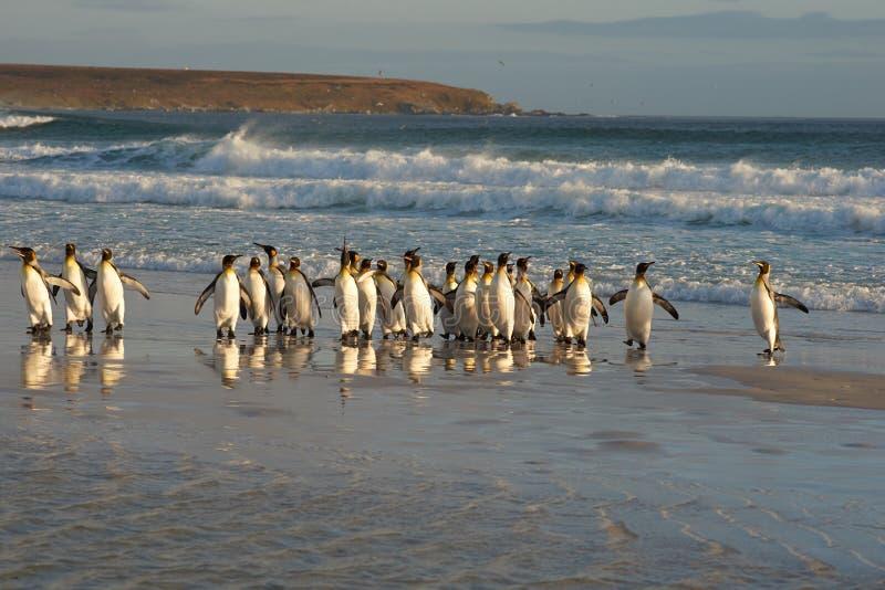 König Penguins in der Brandung stockbilder