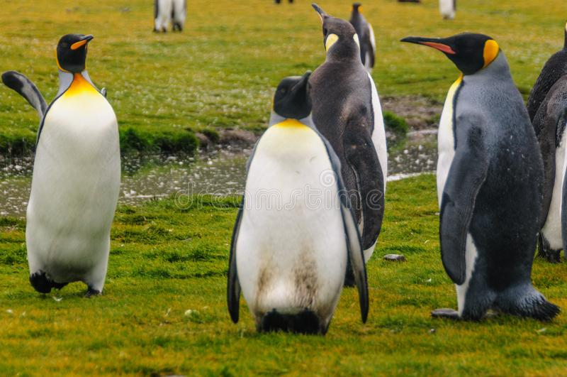 König Penguins lizenzfreie stockfotografie