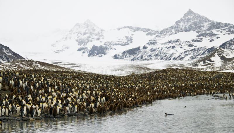 König Penguins in erstaunlicher Landschaft stockfotografie