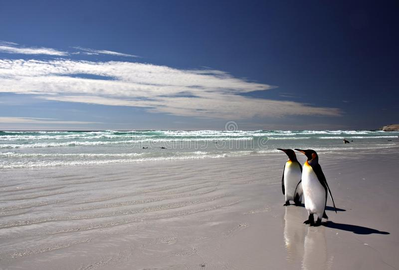 König Penguins am freiwilligen Punkt stockfotos