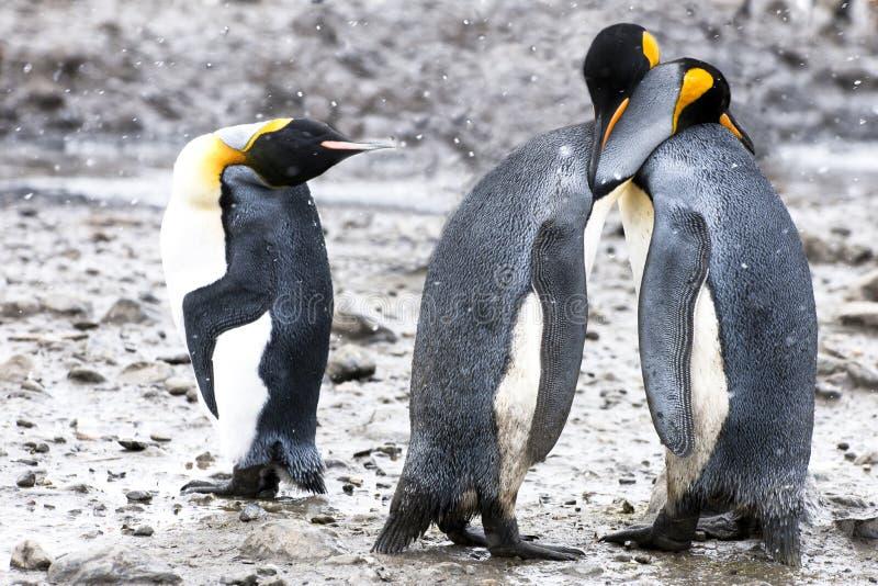 König-Pinguine mit menschlichem Gesticulation lizenzfreies stockbild